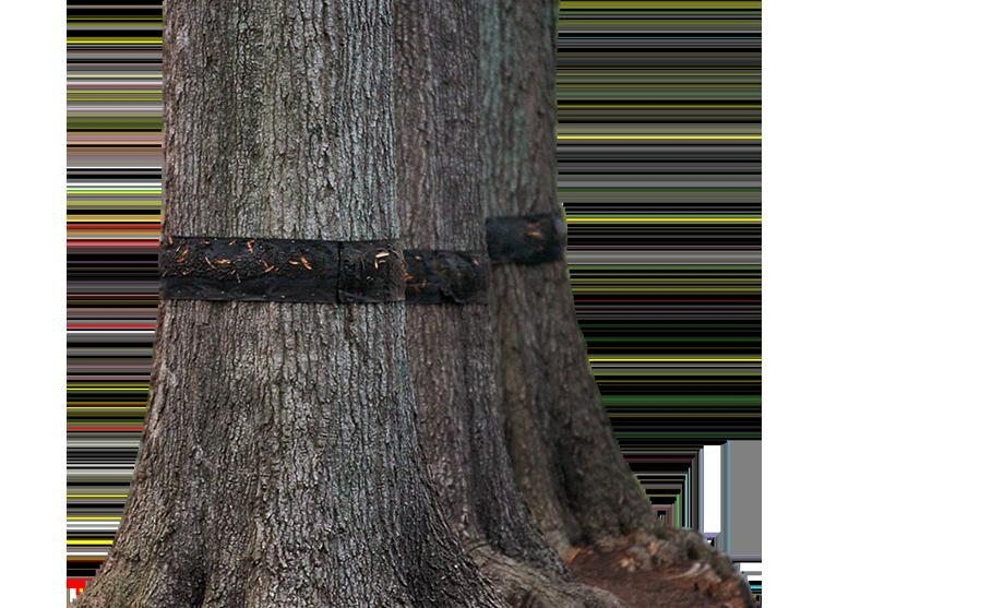 tree-banding-1
